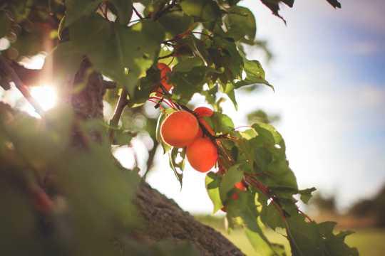 枝头的红杏