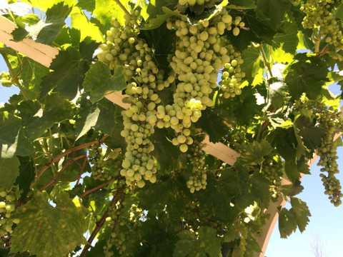 枝头上的青提葡萄图片