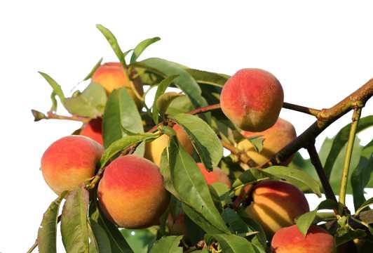 枝头上成熟的桃子图片
