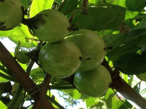 枝头的百香果