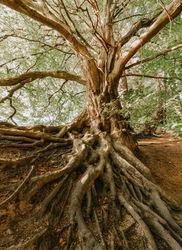 根茎深扎土壤的大树