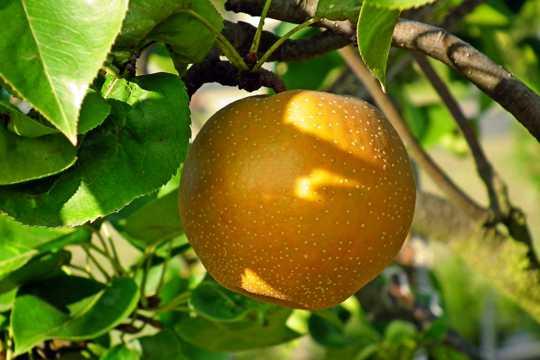 枝头上的梨