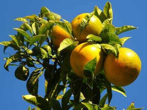 枝头上成熟柑橘图片