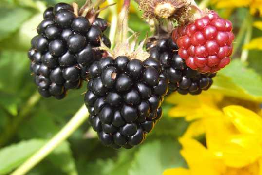 野生黑莓图片