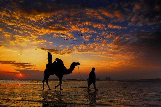 夕阳下的单峰骆驼
